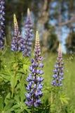 Fleurs de loup (polyphyllus de lupinus) Image stock