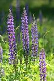 Fleurs de loup (polyphyllus de lupinus) Images stock