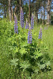 Fleurs de loup (polyphyllus de lupinus) Photos stock