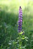 Fleurs de loup (polyphyllus de lupinus) Images libres de droits