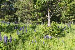 Fleurs de loup sur un fond d'herbe verte Images stock
