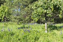 Fleurs de loup sur un fond d'herbe verte Photo libre de droits