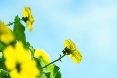 Fleurs de luffa à angles en beau jaune images libres de droits