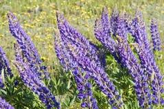 Fleurs de lupin Images stock