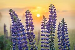 Fleurs de lupin avec le Soleil Levant Photo stock