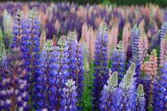 Fleurs de lupin de Russell photographie stock libre de droits
