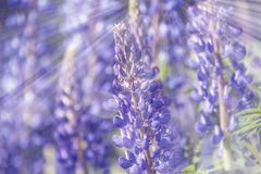 Fleurs de lupines sauvages Photo libre de droits