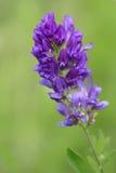 Fleurs de luzerne image stock