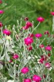 Fleurs de lychnide de Rose Photographie stock libre de droits