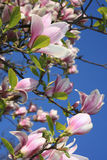 Fleurs de magnolia Images libres de droits