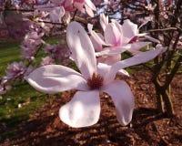Fleurs de magnolia en parc de ville image stock