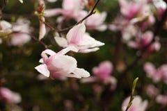 Fleurs de magnolia sur une branche en premier ressort photo libre de droits