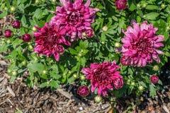 Fleurs de maman dans le jardin Photographie stock