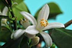 Fleurs de mandarine   Photo libre de droits