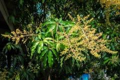 Fleurs de mangue images libres de droits