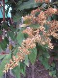 Fleurs de mangue Photographie stock libre de droits