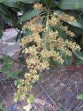 Fleurs de mangue Photos libres de droits