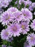 Fleurs de Margaret dans le jardin image libre de droits