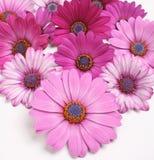 Fleurs de marguerite Photos libres de droits