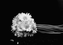 Fleurs de marguerite Photo libre de droits