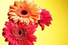 Fleurs de marguerite Photographie stock libre de droits