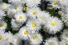 Fleurs de marguerite. Photos stock