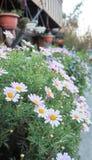 Fleurs de marguerite Image stock