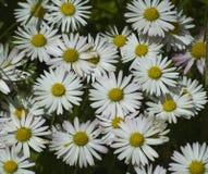 Fleurs de marguerite blanche Images libres de droits