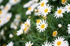 Fleurs de marguerite blanche dans le jardin Photo stock