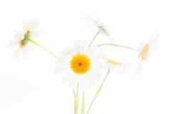 Fleurs de marguerite d'isolement sur le fond blanc Photo libre de droits