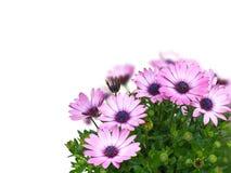 Fleurs de marguerite d'Osteospermum d'isolement sur le blanc Photographie stock