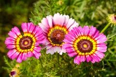 Fleurs de marguerite dans la couleur rose image libre de droits