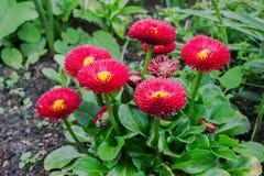 Fleurs de marguerite dans le jardin Images libres de droits