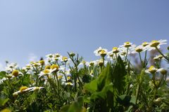Fleurs de marguerite dans un domaine photographie stock libre de droits