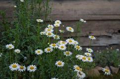 Fleurs de marguerite dans un jardin de vintage images libres de droits