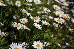 Fleurs de marguerite dans un pré Photo libre de droits