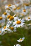 Fleurs de marguerite de camomille sauvage Images stock