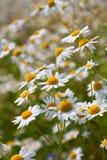 Fleurs de marguerite de camomille sauvage Image stock
