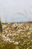 Fleurs de marguerite de camomille sauvage Images libres de droits