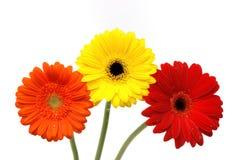 Fleurs de marguerite de Gerber d'isolement sur le blanc Photo stock