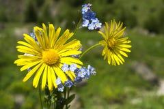 Fleurs de marguerite et de myosotis Photographie stock libre de droits