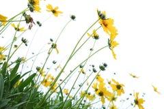 Fleurs de marguerite Fleurs jaunes image stock