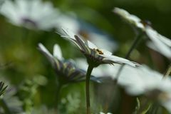 Fleurs de marguerite ; point de vue peu commun ; orientation diagonale image libre de droits