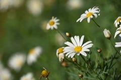 Fleurs de marguerite sur le fond vert de paysage de tache floue Photos libres de droits