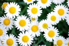 Fleurs de marguerite sur un fond trouble vert Sons foncés Fleurs de pré Jeunes adultes Fleurs d'été et de ressort images stock