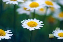 Fleurs de marguerite sur un fond trouble vert Sons foncés Fleurs de pré Jeunes adultes Fleurs d'été et de ressort photos stock