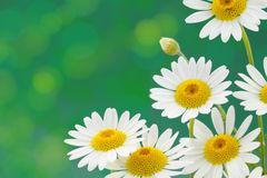Fleurs de marguerites Photo libre de droits