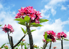 Fleurs de Maui, Hawaï Photo stock