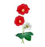 Fleurs de mauve d'isolement sur le fond blanc Image stock