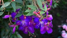 Fleurs de Melastomataceae banque de vidéos
